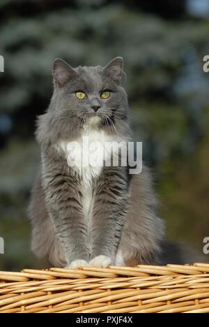 Blue-mitted Ragdoll, solide, Katze, sitzend auf Korb, Österreich - Stockfoto