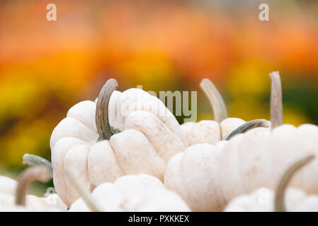 Nahaufnahme des White Mini Kürbisse gegen Herbst Farben. Kopieren Sie Platz. - Stockfoto