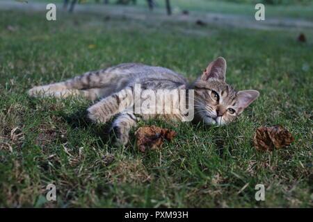 Süße gestreifte Katze beim Spielen im Gras im Garten
