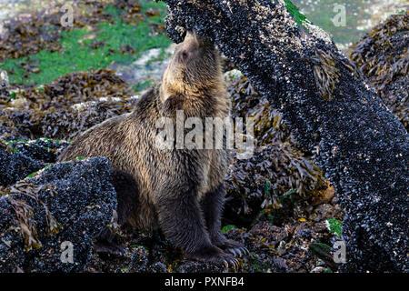 Junge Küsten Grizzlybären (Ursus arctos) Schlemmen auf blauen Muscheln bei Ebbe entlang der Knight Inlet Shoreline, First Nations Territorium, Britische - Stockfoto