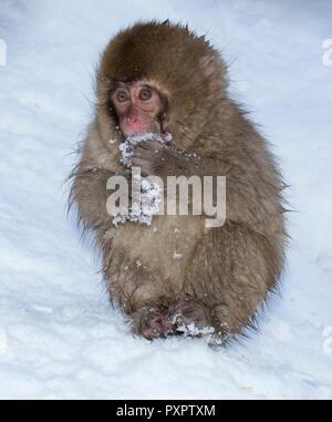 Makake, Schnee Affe, sitzt im Schnee, Schnee Essen, Japan - Stockfoto