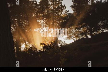 Die frühe Morgensonne strahlen durch Adlerfarn, Dunst und Nebel strahlt in einer Kiefer Holz, Ilkley Moor, Großbritannien
