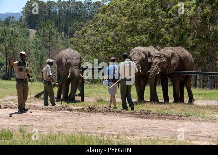 Junge Elefanten mit Förster und ein Tourist auf eine Reserve in der Nähe von Knysna in der Western Cape Südafrika - Stockfoto