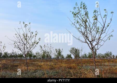 Junge Mandelobstgarten im Herbst Jahreszeit an Dobrogea, Rumänien - Stockfoto
