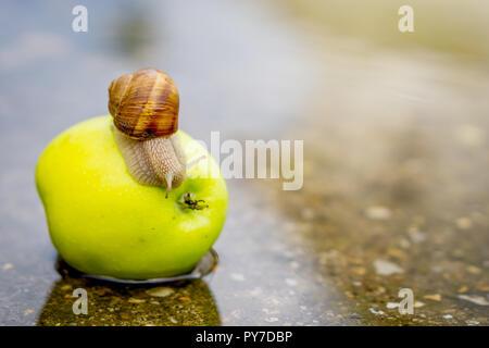 Schnecke kriecht auf Green Apple in seichtem Wasser auf Beton. - Stockfoto