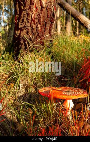 Farbfoto des Woodland Szene von Fly agaric Pilz innerhalb von Gras im Hochformat. - Stockfoto