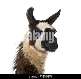 Nahaufnahme von einem Lama - Stockfoto