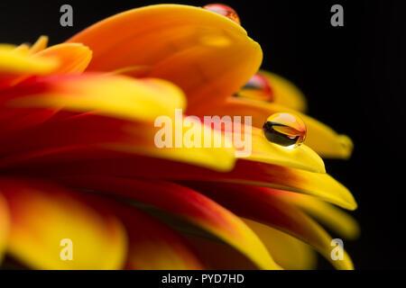 Makro von Wassertropfen auf einem roten und gelben Gerber - Stockfoto