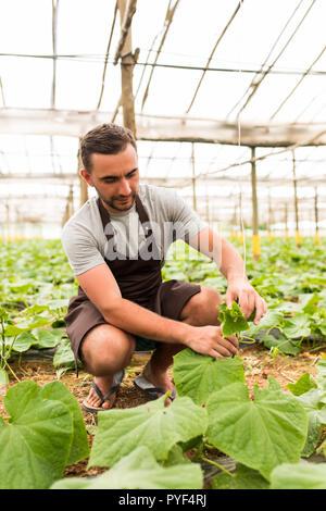 Zuversichtlich männliche Bauer controlling Prozess der Anbau von Gurken im Gewächshaus - Stockfoto