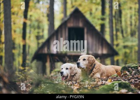 Zwei reinrassige Golden Retriever im Herbst Wald. Paar alte Hunde in trockene Blätter liegen. - Stockfoto