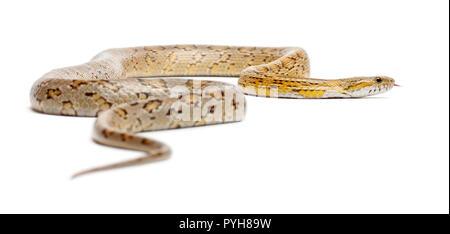 Amber Corn Snake, Pantherophis guttatus, vor weißem Hintergrund - Stockfoto