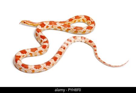 Okkeetee Albinos reverse Corn Snake oder Rote Ratte Schlange, Pantherophis guttatus, vor weißem Hintergrund - Stockfoto