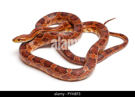 Klassische Corn Snake oder Rote Ratte Schlange, Pantherophis guttatus, vor weißem Hintergrund - Stockfoto