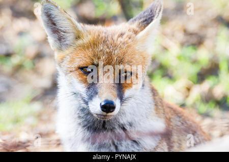 Alberese (Gr), Italien, Fox close up in der Maremma, Toskana, Italien - Stockfoto