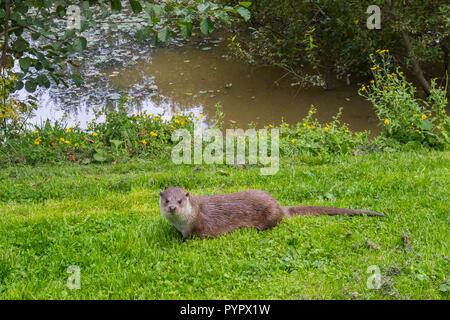 Otter Familie auf Gras Bank - Stockfoto