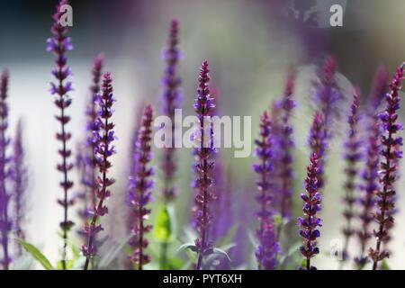 Detaillierte Nahaufnahme von Lupin blumen Feld, Sommer - Stockfoto