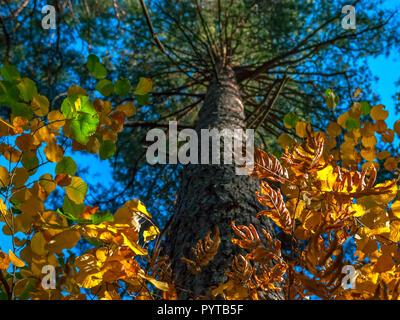 Sie suchen den Stamm von Kiefer, die hellen Krone von grünen, gelben und goldenen Blätter. Herbstliche Farben, Wechsel der Jahreszeiten Konzept. - Stockfoto