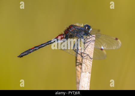 Ruby whiteface (Leucorrhinia rubicunda) Libelle auf mit grünem Hintergrund Reed thront. - Stockfoto