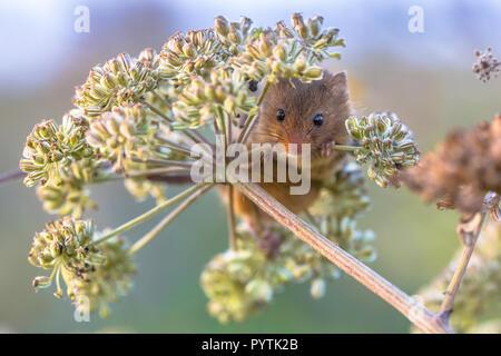 Ernte Maus (Micromys Minutus) Fütterung mit Samen der Kuh Petersilie (Anthriscus sylvestris) und suchen in der Kamera - Stockfoto