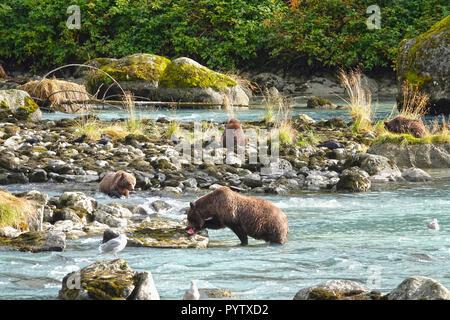 Wild grizzly Bär und drei Jungen Jagd Lachs in einem Fluss. - Stockfoto