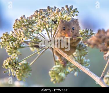 Eurasischen Ernte Maus (Micromys Minutus) Nahrungssuche auf Samen der Kuh Petersilie (Anthriscus sylvestris) und suchen in der Kamera - Stockfoto