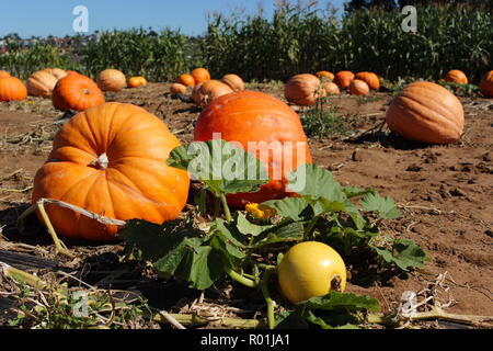Schöne große, reife Kürbisse in Pumpkin Patch an einem sonnigen Tag - Stockfoto