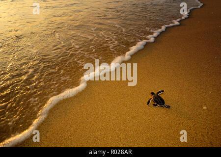 "Grüne Meeresschildkröte (Chelonia mydas) Hatchling"", Florida, Atlantik B1275 - Stockfoto"