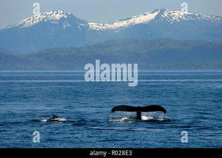Buckelwal, Megaptera novaeangliae, Clarence Strait, Inside Passage, Alaska, Pazifischer Ozean - Stockfoto