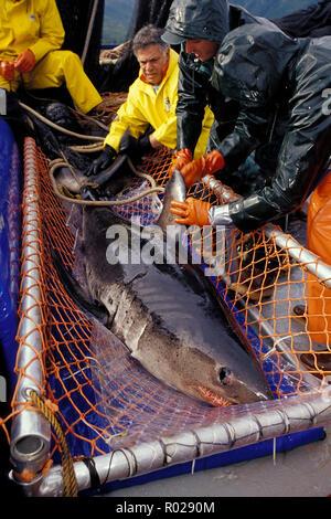 Lachs Hai, Lamna ditropis, Forschung durch Sat-Tagging, Alaska - Stockfoto