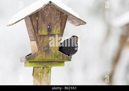 Futterhäuschen im Garten mit einer Amsel - Stockfoto