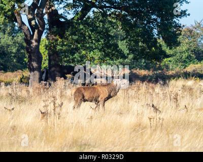Red Deer Stag Gebrüll während der Brunft - Stockfoto