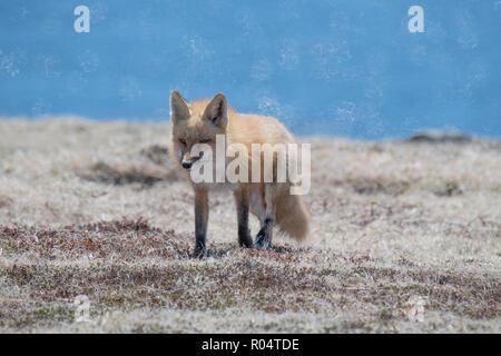 Red Fox erwachsene Frau zurück in ihre Höhle Cape St. Mary's, Neufundland - Stockfoto