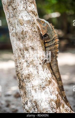 Schwarz stacheligen Tailed Iguana Lizard (Ctenosaura Imilis), Manuel Antonio National Park Beach, Pacific Coast, Costa Rica, Mittelamerika - Stockfoto