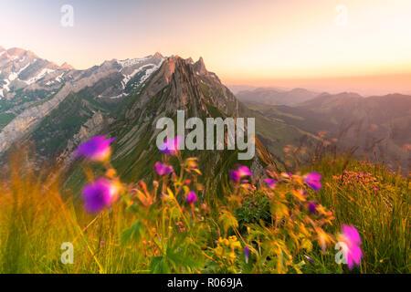 Wilde Blumen auf schafler mit dem felsigen Gipfel Santis im Hintergrund, Appenzell Innerrhoden, Schweiz, Europa - Stockfoto