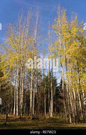 Hohe Aspen Bäume mit gelben Herbstliche Blätter an einem sonnigen Oktobertag. - Stockfoto