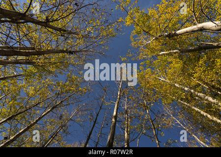 Zu hohe Aspen Bäume im Herbst. - Stockfoto