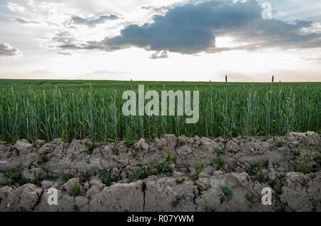 Junge grüne Weizenähren wächst aus dem fruchtbaren Boden auf einem schönen Feld mit abendlichen Sonnenuntergang Himmel. Reifung Ohren Weizen. Die Landwirtschaft. Natürliches Produkt. - Stockfoto