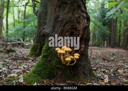 Golden Scalycap Pilz - Pholiota aurivella ist ein ungeniessbarer Pilz, wächst auf Reifen Buche. Bild in Ashridge Woods, Hertfordshire, Großbritannien - Stockfoto