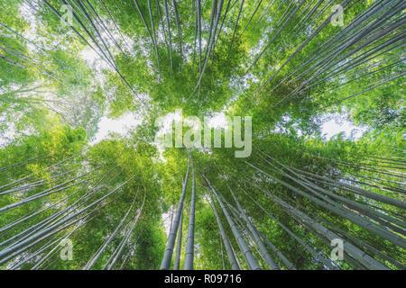 Bamboo Grove in Arashiyama Bambuswald in Kyoto, Japan