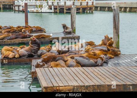 Kolonie von Seelöwen auf der Plattform am Pier 39 in San Francisco, California, United States. Pier 39 liegt am Rand von Fisherman's Wharf distr entfernt - Stockfoto