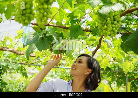 Junge schöne asiatische Frau green grape Früchte Bauernhof ein Ort für Touristen, Traubenmost, Plantation, Weingut in Sabah Malaysia Borneo. - Stockfoto