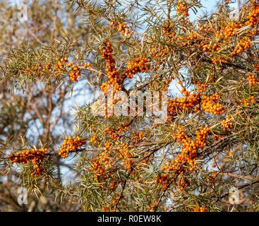 Aberlady Nature Reserve, East Lothian, Schottland, Vereinigtes Königreich, 4. November 2018. UK Wetter: Sonniger Tag an der Ostküste. Orange Beeren auf Sanddorn Sträucher leuchten im Sonnenlicht - Stockfoto