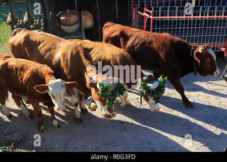 Rinder, Kühe, Kälbchen und Bullen, mit Blumen geschmückt, beim Weideabtrieb
