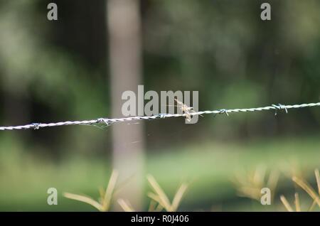 Grafik Flutterer Dragonfly thront auf einem Stacheldrahtzaun in South East Queensland - Stockfoto