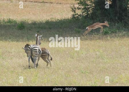 Paar ebenen Zebras (Equus quagga) jagen im afrikanischen Busch an einem sonnigen Tag im Sabi Sands, Südafrika - Stockfoto