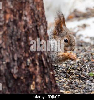 Eurasischen Eichhörnchen (Sciurus vulgaris) Essen mit Schnee im Hintergrund. Finnland. - Stockfoto