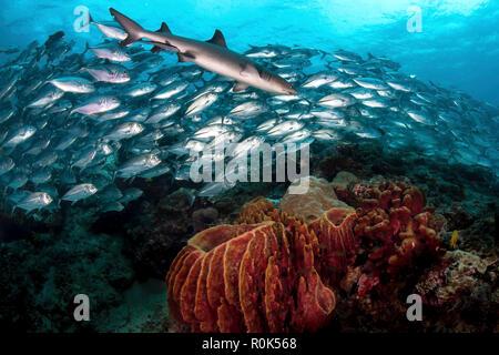 Ein Weißspitzen-Riffhai schwimmt vor einer Schule von Großaugen Makrelen. - Stockfoto