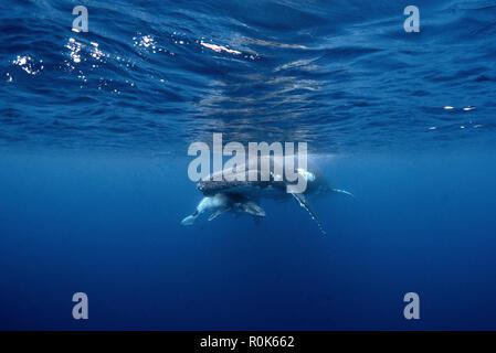 Ein buckelwal und ihr Kalb Rest auf der Oberfläche. - Stockfoto