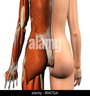 Weibliche Muskeln, split Hautschicht, Rückansicht auf weißem bckground. - Stockfoto