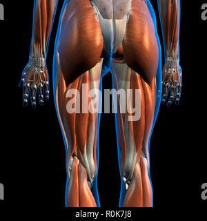 Seitliche und hintere Ansicht der weiblichen Hüft- und Beinmuskulatur. - Stockfoto